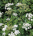 'Heracleum sphondylium' - Common Hogweed at Shipley, West Sussex, England 04.JPG