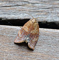 (0985) Cacoecimorpha pronubana (17986534826).jpg