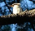 (1)Centennial Park kookaburra-94.jpg