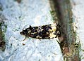 (1097) Endothenia gentianaeana (27777902500).jpg