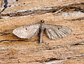 (1830) Wormwood Pug (Eupithecia absinthiata) (20177364195).jpg