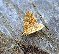 (1876) Small Yellow Wave (Hydrelia flammeolaria) (7484887024).jpg