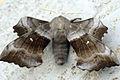 (1981) Poplar Hawk-moth (Laothoe populi) (9033566489).jpg