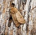 (2382) The Rustic (Hoplodrina blanda) (29136439420).jpg