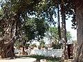 ==Banyan tree-1 (Shiv Bjrag Dham, Kishunpur )==.jpg