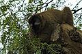 ¿Lemur mangosta? II - Bioparc Valencia (2786516671).jpg
