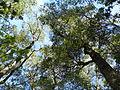 Árbol Coige (parque nacional Vicente Pérez Rosales).JPG