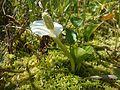 Білокрильник болотний.jpg