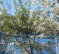 Во дворе цветёт вишня - panoramio.jpg
