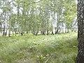 Деревенская лесополоса летом.jpg
