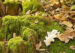 Дубове пожовкле листя.jpg