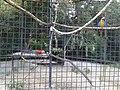 Зеленокрылый ара и сенежелтый ара(Penza Zoo 2016).jpg