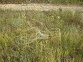 Ковыль между лесом и железной дорогой 1, 2014.jpeg