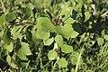 Красносвободские осиновые кусты - 3.jpg