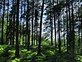 Лес в Лозовке. Полоцк. Forest in Lozovke. Polotsk. - panoramio.jpg