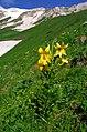 Лилия в Кавказском заповеднике.jpg