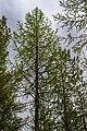 Лиственница сибирская, некоторые деревья достигают в высоту 7м.jpg