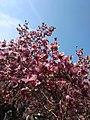 Магнолія цвіте у саду Фоміна.jpg