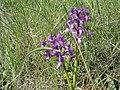 Орхідеї на Казантипському півострові.jpg