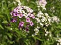 Растения в Седово 001.JPG
