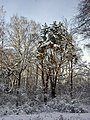 Сосна в зимнем лесу - panoramio - Machmood.jpg