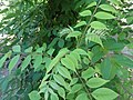Фелодендрон, Ботаничка башта Јевремовац, 01.JPG
