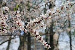 Цветущий абрикос в Аптекарском огороде.JPG