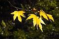 برگ زرد-پاییز-yellow leaves-falling leaves 13.jpg