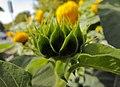گل آفتابگردان - panoramio.jpg