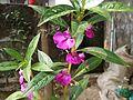 দোপাটি ফুল (Impatiens balsamina).jpg