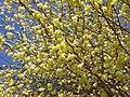 ヒュウガミズキの花 Buttercup winter hazel 2013.3.22 - panoramio.jpg