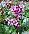 岩白菜屬 Bergenia Overture -比利時 Leuven Botanical Garden, Belgium- (9200884540).jpg