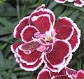 康乃馨 Dianthus caryophyllus Sunflor Margarita -荷蘭 Keukenhof Flower Show, Holland- (9252392521).jpg