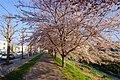 新川さくら並木(Shinkawa cherry trees) - panoramio (2).jpg