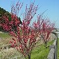 明日香村飛鳥にて 飛鳥川沿いの桃の木 Peach trees along the Asuka-gawa 2012.4.12 - panoramio.jpg