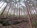 桧の人工林.jpg