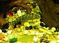 環纹鼠 Botia striata - panoramio.jpg
