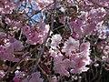 真楽寺の八重桜 Double cherry blosssoms 2013.4.13 - panoramio.jpg