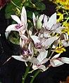 石斛蘭 Dendrobium Tyabb 'Super Star' x Keldon 'White Glory' -香港蘭花節 Hong Kong Orchid Festival- (41478728912).jpg