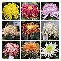 菊花 Chrysanthemum morifolium cultivars 2 -上海共青森林公園 Shanghai, China- (12116184166).jpg