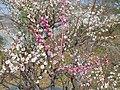近つ飛鳥風土記の丘にて 2013.3.16 - panoramio (3).jpg