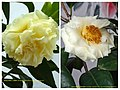 金花山茶雜交 Camellia (nitidissima x japonica) cultivars -深圳園博園茶花展 Shenzhen Camellia Show, China- (17354080051).jpg