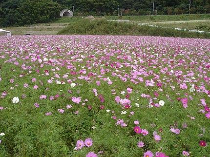 飯南町志津見、国道184号線沿いのコスモス。