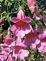 高地黃 Rehmannia elata -維也納大學植物園 Vienna University Botanical Garden- (27899896883).jpg