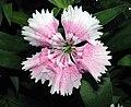 鬚苞石竹 Dianthus barbatus Indian Carpet -香港公園 Hong Kong Park- (9447933767).jpg