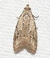- 2314 – Carposina sasakii – Peach Fruit Moth (43760265994).jpg