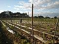 0203jfLandscapes Maronquillo Rice Vegetables Fields San Rafael Bulacan Roadsfvf 24.JPG