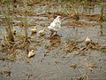 0298jfLands Culianin Ducks Plaridel Bulacan Cattle Fieldsfvf 18.JPG