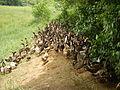 06659jfCandaba Pampanga Fields Duck Farming Bahay Pare Dulong Ilog Bulacanfvf 35.JPG