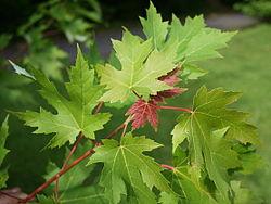 feuilles de l'érable argente